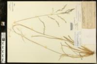 Coleataenia rigidula subsp. rigidula image