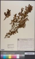 Erythroxylum myrsinites image