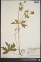 Image of Geranium strictipes