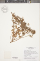 Image of Geranium wilfordii