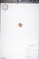 Taxus × media image