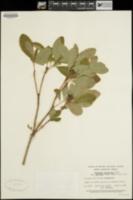 Menziesia ferruginea image