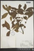 Carya texana image