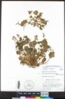 Claytonia perfoliata subsp. intermontana image
