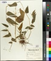 Olyra ciliatifolia image