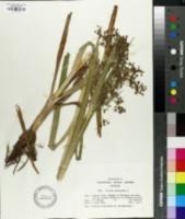 Image of Scirpus sylvaticus