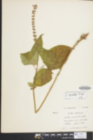 Image of Stachys cordata