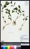 Cuphea aspera image