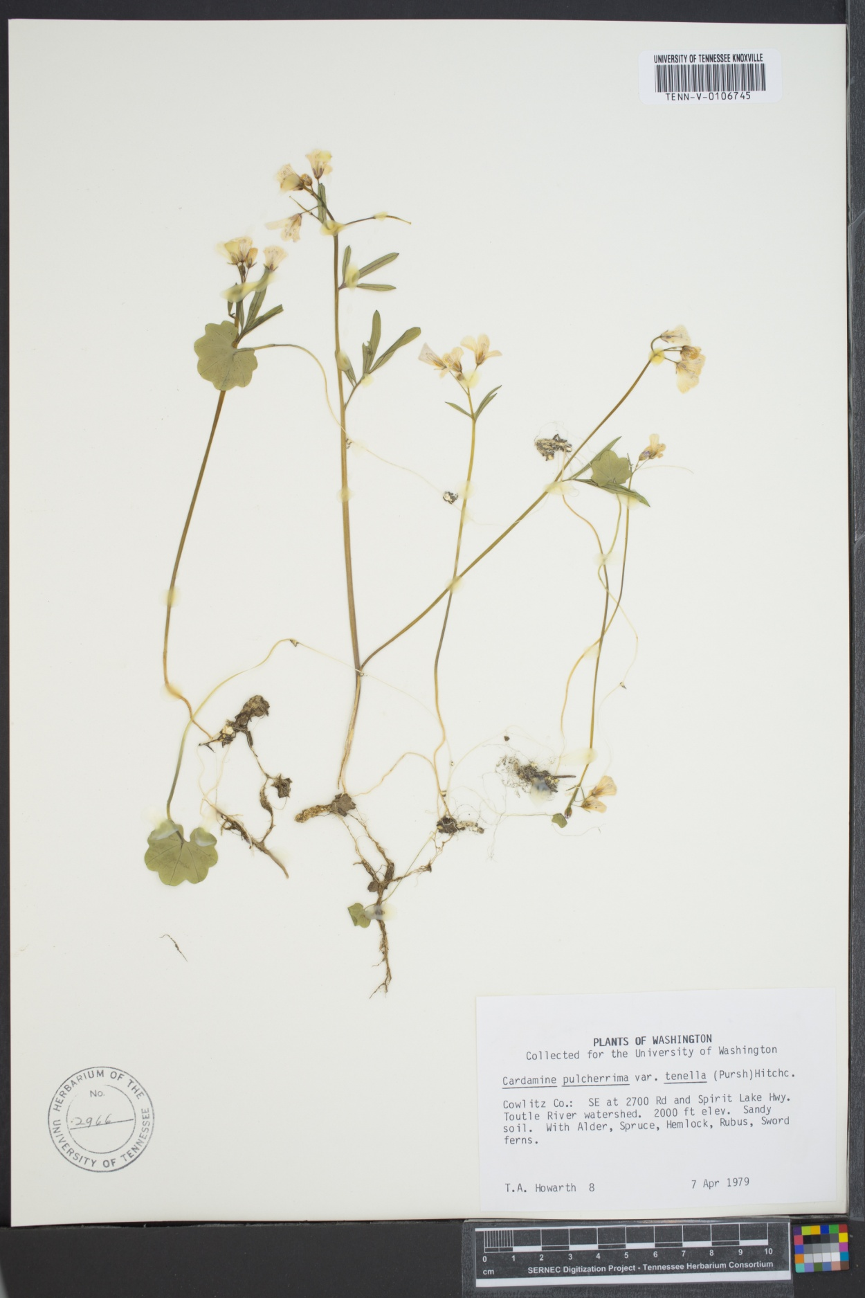 Cardamine pulcherrima var. tenella image