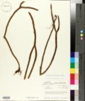 Image of Lycopodium funiforme