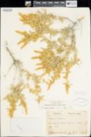 Atriplex canescens image