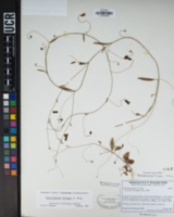 Neogaerrhinum filipes image