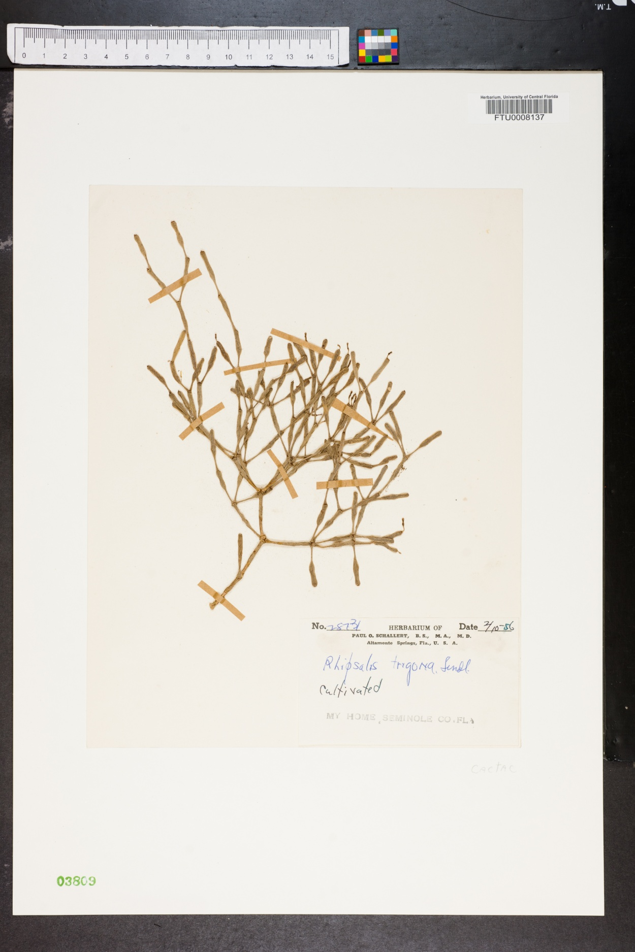 Rhipsalis trigona image