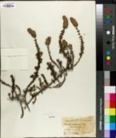 Image of Pycnothymus rigidus