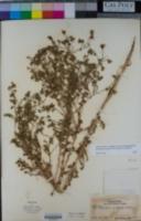 Image of Deinandra pentactis