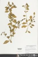 Hybanthus yucatanensis image