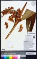 Alpinia zerumbet image