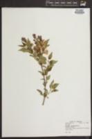 Image of Syringa microphylla