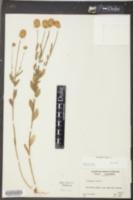 Polygala lutea image
