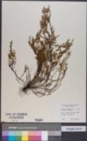 Calluna vulgaris image