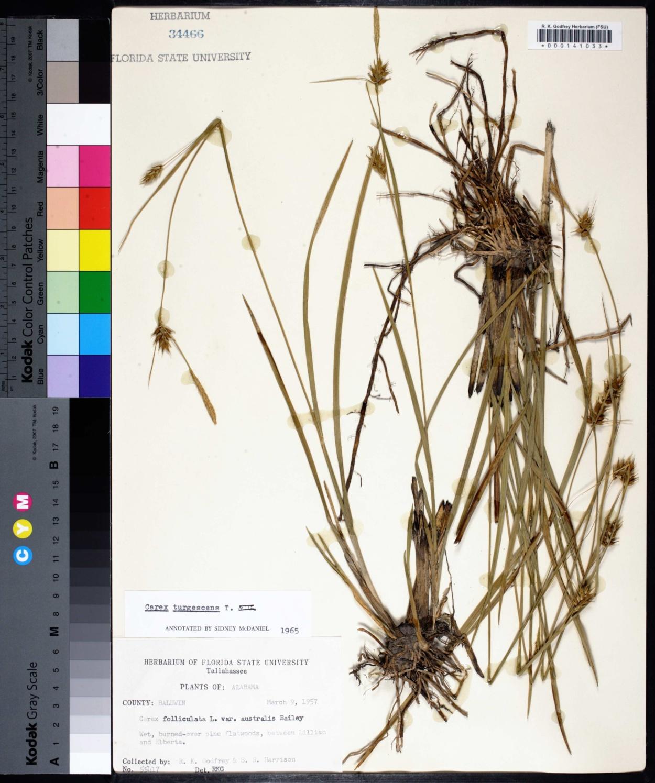 Carex turgescens image