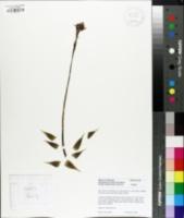 Image of Haworthia arachnoidea