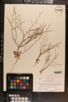 Eriogonum deflexum var. nevadense image