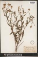 Aster turbinellus image