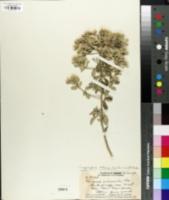 Image of Lepidaploa arbuscula