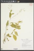 Rorippa indica image