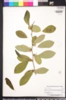 Image of Annona diversifolia