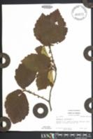 Hamamelis virginiana image