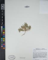 Camissonia micrantha image