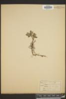 Salix microphylla image