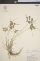 Image of Cyperus croceus
