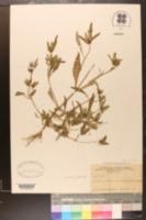 Image of Bidens cornuta