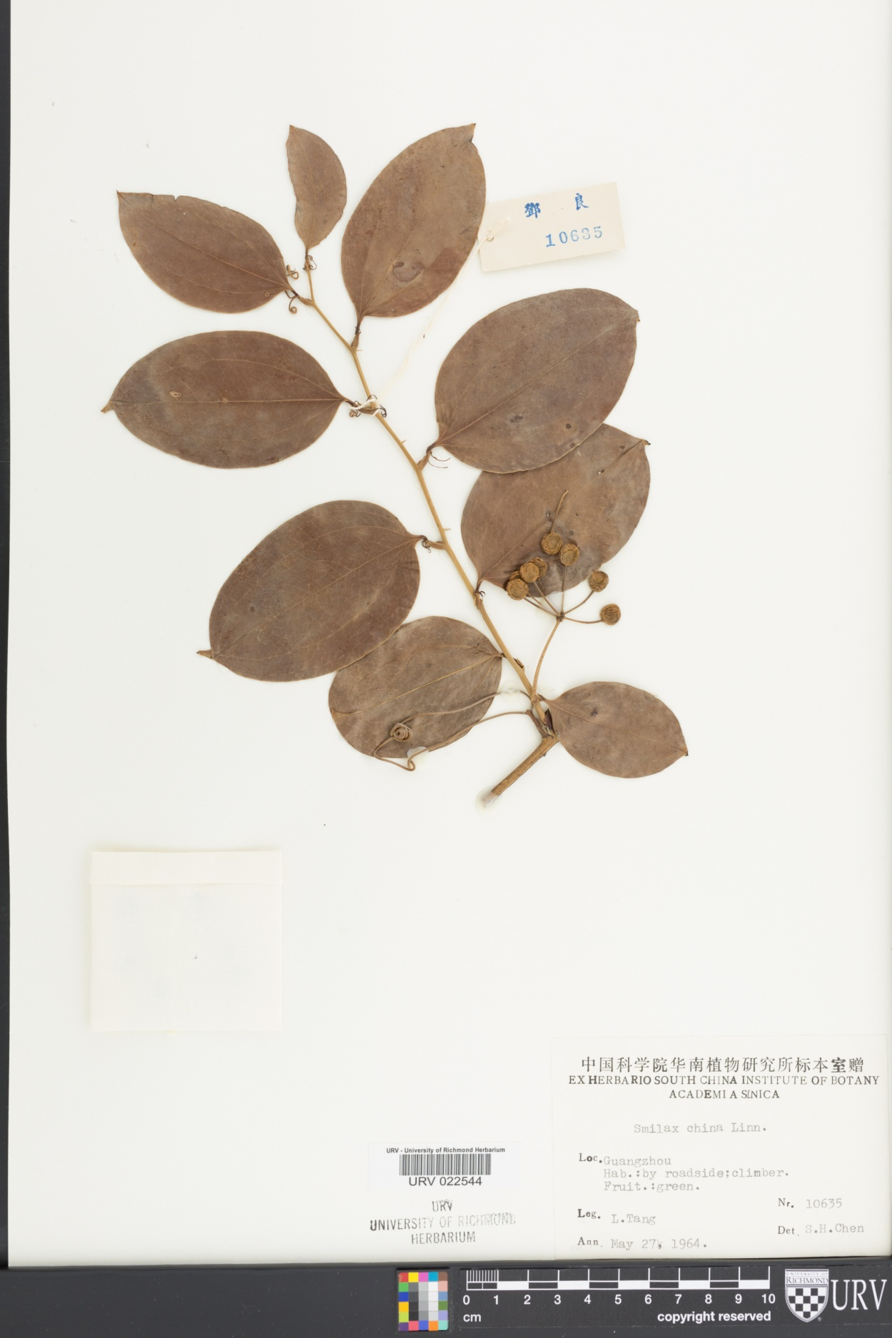 Smilax china image