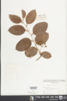 Image of Smilax china