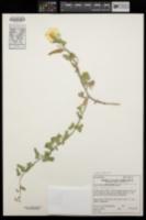 Image of Calystegia occidentalis