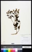 Image of Brickellia chenopodina