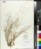 Image of Agrostis macrothyrsa