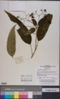 Image of Clerodendrum cyrtophyllum