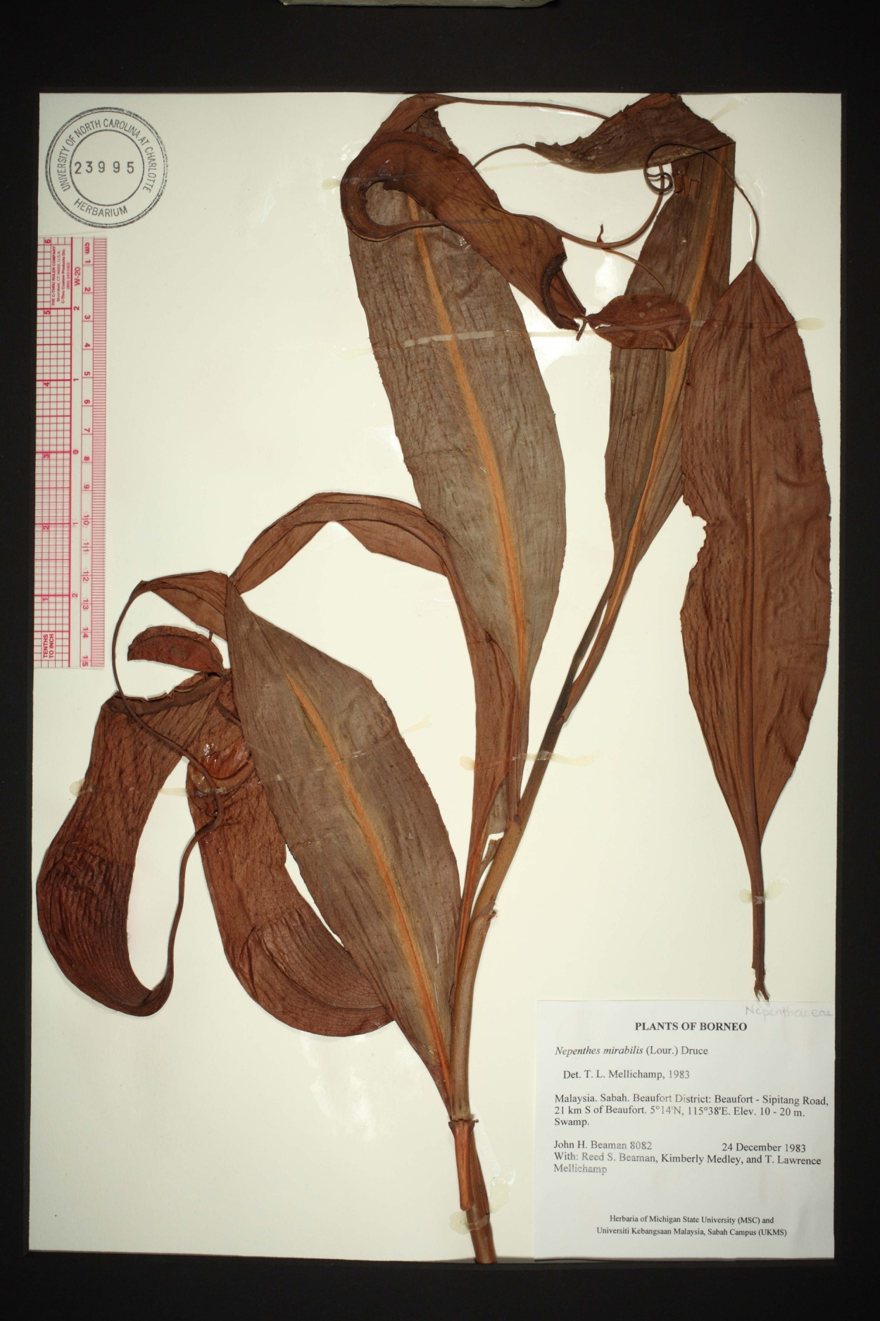Nepenthes mirabilis image