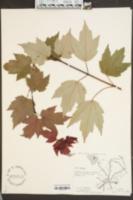Acer rubrum image