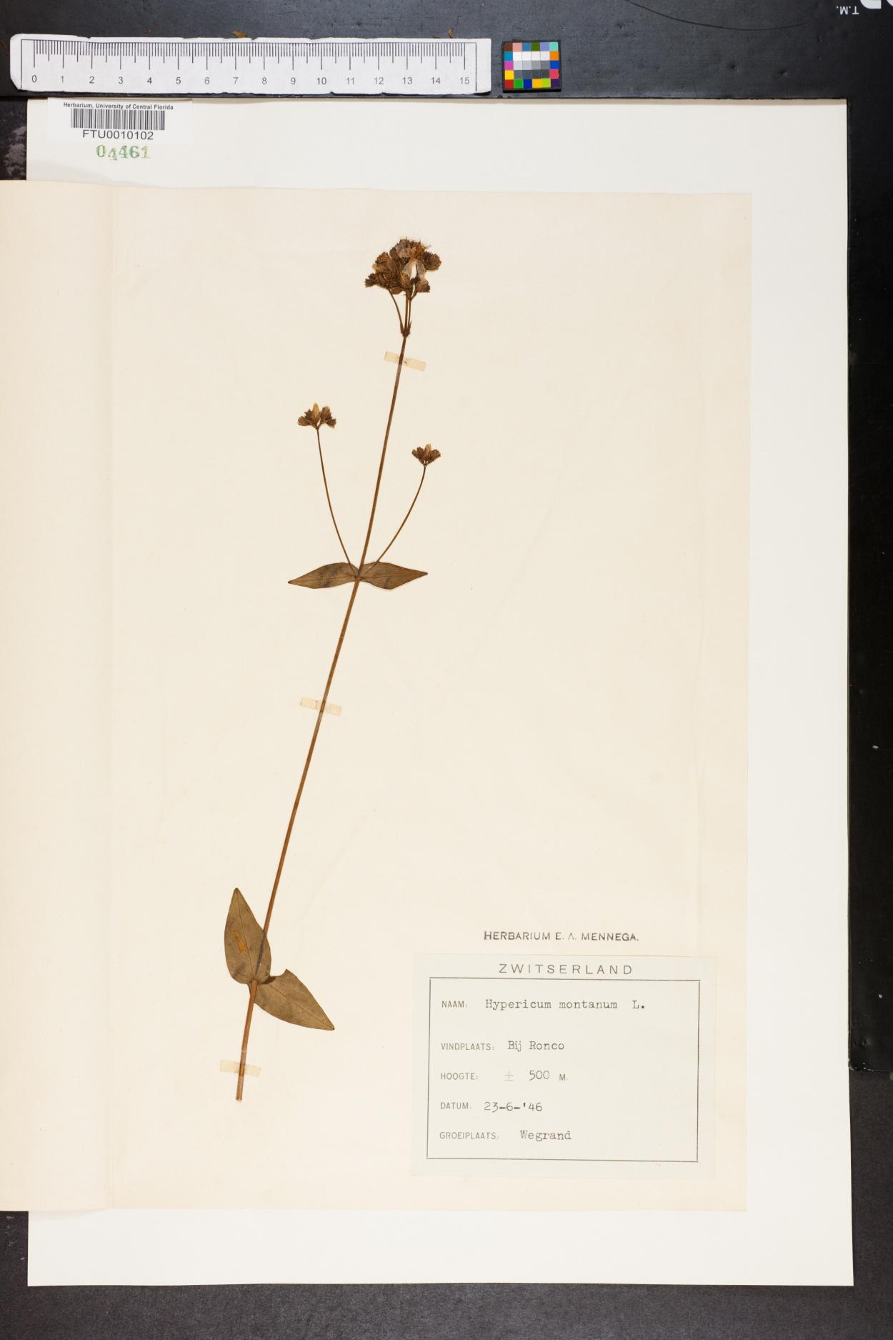 Hypericum montanum image