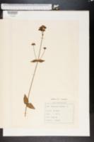 Image of Hypericum montanum