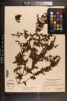 Aureolaria pectinata image