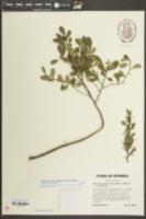 Sideroxylon macrocarpum image