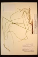 Carex lenticularis var. lipocarpa image