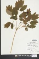 Caulophyllum thalictroides image